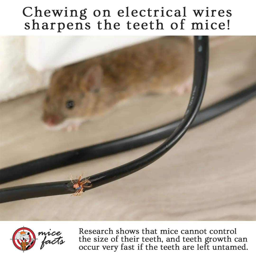 wHY DO MICE CHEW ON WIRES?